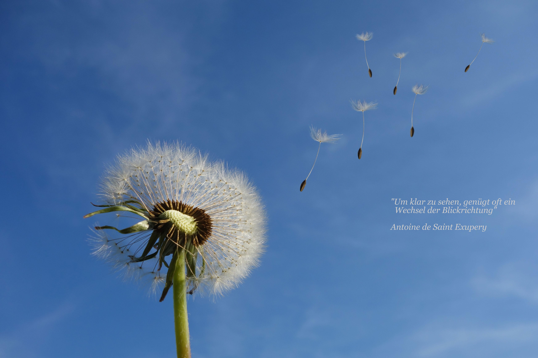 dandelion-463928_2opt